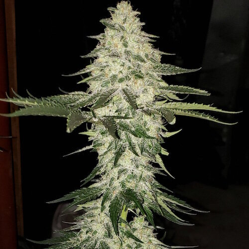 ETHOS - PLANET OF THE GRAPES AUTO