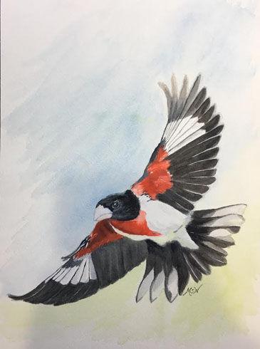 365 Rose-Breasted Grosbeak Flying Walsh.