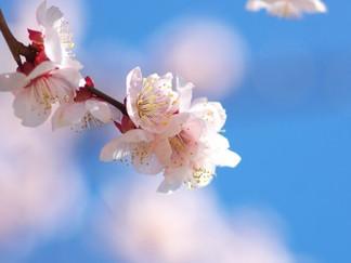 この桜の季節に思うこと…これも風水