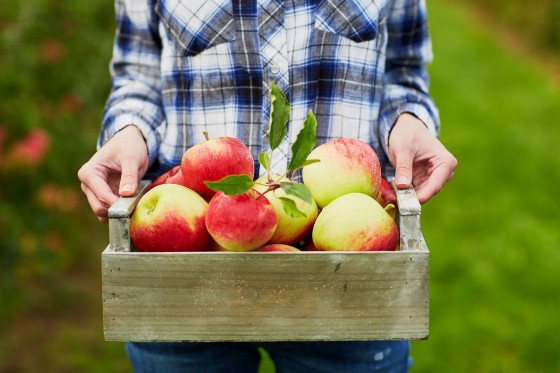Apple picking is a favorite fall activity but it can cause you to suffer from low back pain if you don't take some precautions.