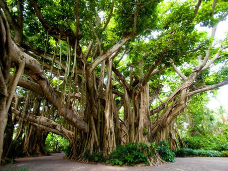 Most Oxygen Producing Trees Around Us