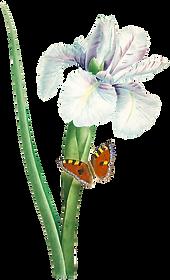 HTC_Heritage Library_Iris FlowerElement