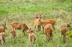 17004609-swamp-deer-in-kaziranga-nationa