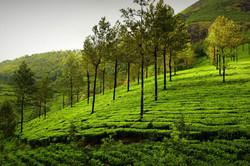 tea-garden-kerala2