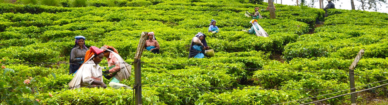 spice-gardens-tea-plantation387_a