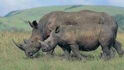 585013-rhino
