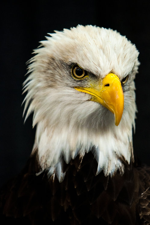 Rocky The Eagle