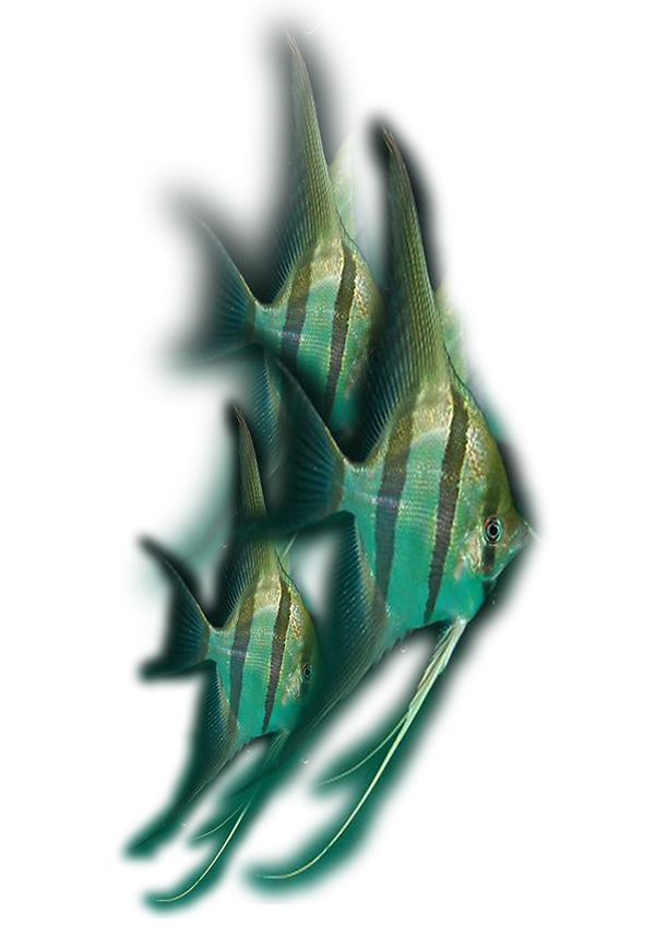Pterophyllum-altum.png