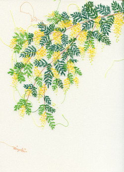 mimosa001