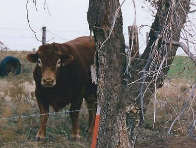 First Bull.jpg