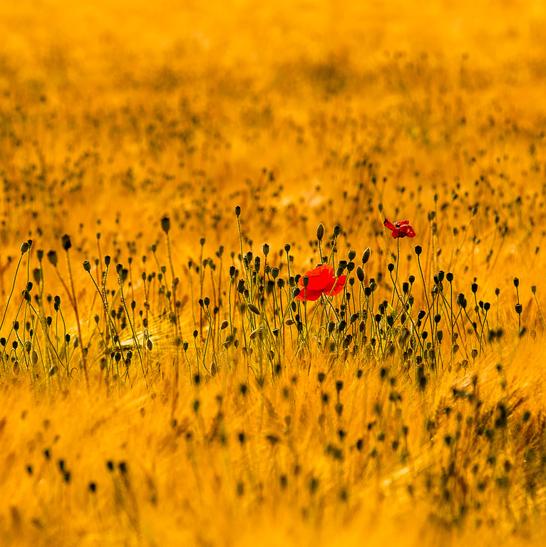 Germany | Poppy Flower