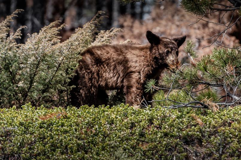 Cananda | Banff National Park | Bear Kitten