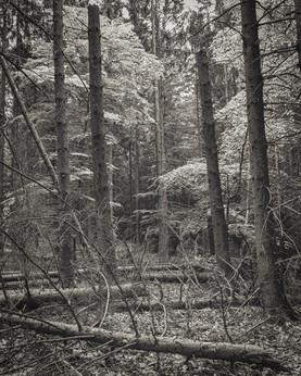 Deadwood because of bark beetle plague