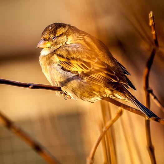 Finnland   Helsinki   Sparrow