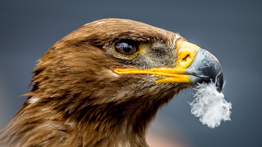 Germany | Eagle