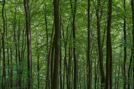 Beech Forrest near Urft Dam