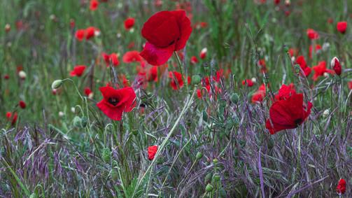Poppies | Dream Path | Eifel