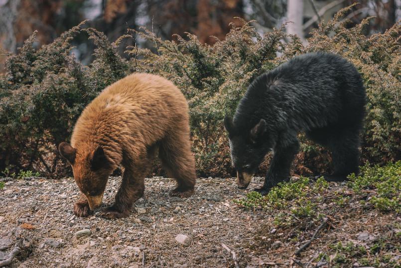 Cananda   Banff National Park   Bear Kitten