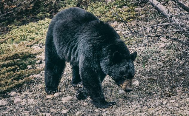 Cananda   Banff National Park   Black Bear