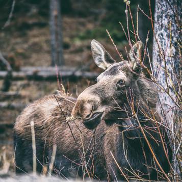 Cananda   Banff National Park   Caribou