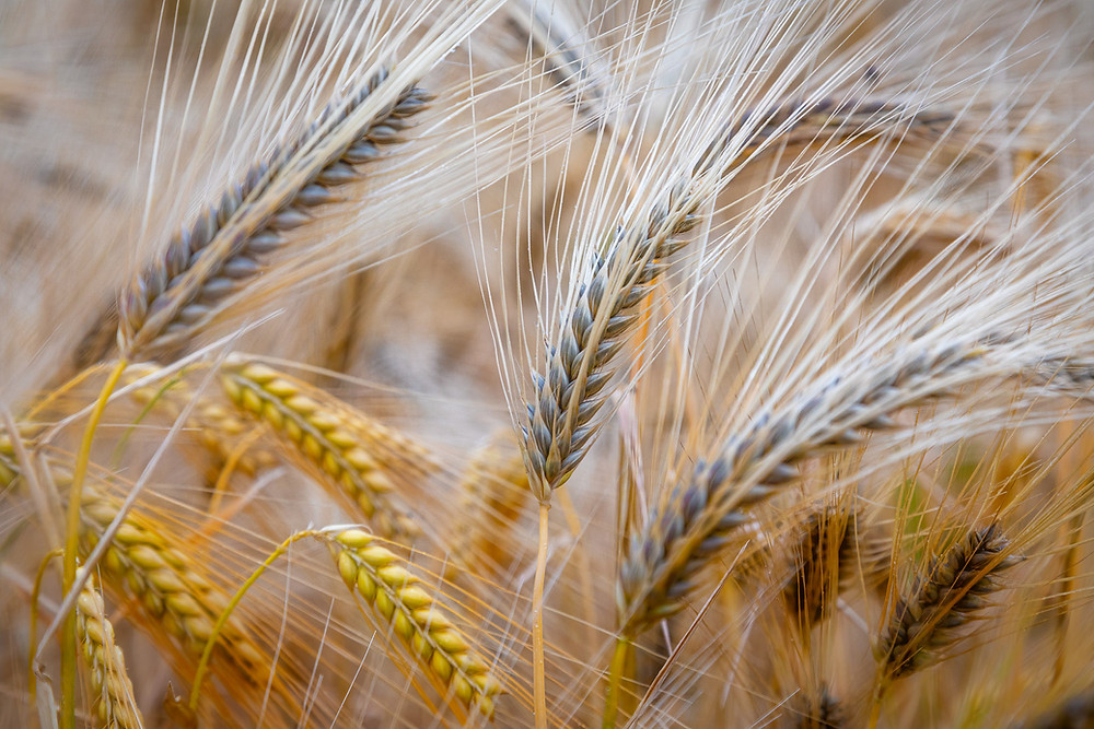 Barley Field | Eifel | HolgerOlivier Landscape & Travel Photography