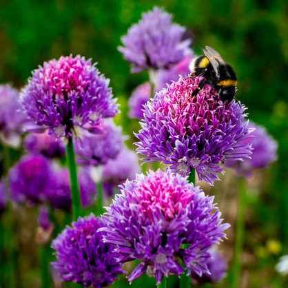 Germany   Chives Blossom
