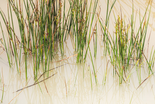 Grass in Puddle