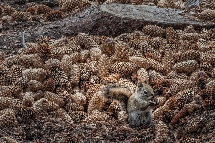 Canada   Banff National Park   Squirrels