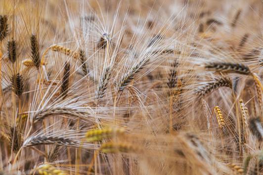 Barley Field | Dream Path | Eifel