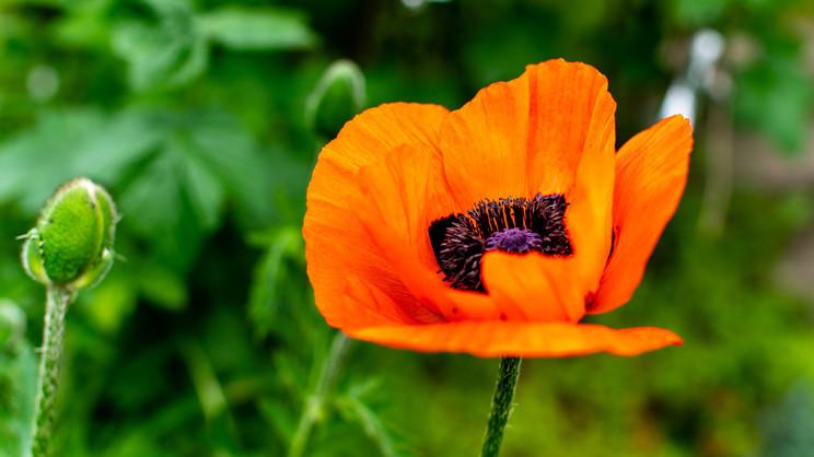 Germany   Poppy Blossom