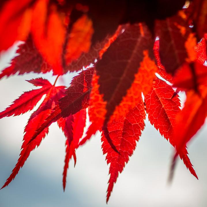 Austria | Admont | Red Leaves
