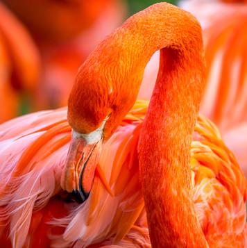 Germany | Cologne | Flamingo