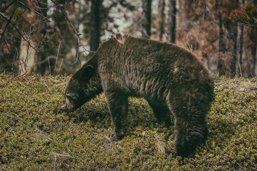 Cananda   Banff National Park   Brown Bear