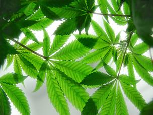 Marijuana: 420 & Legalization