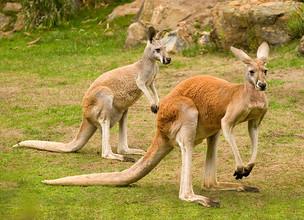 Australians Are Urged to Eat Kangaroos
