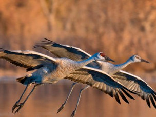 The Sandhill Crane Experience Coming to The Will County Forest Preserve