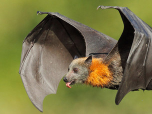 Rabid Bats in Will County