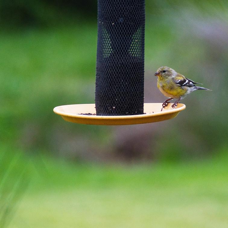 Finch Feeding Time