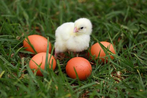 Show-Chickens-Eggs.jpg