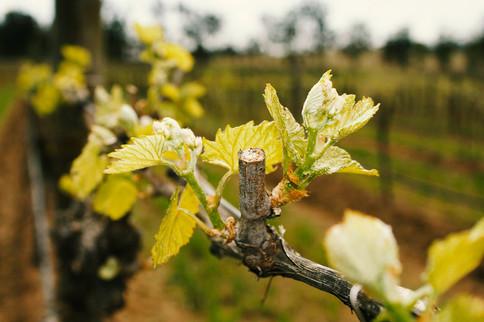 Vineyard-Vine-Leaf.jpg