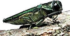 Emerald_ash_borer_3_-_Flickr_-_USDAgov.j