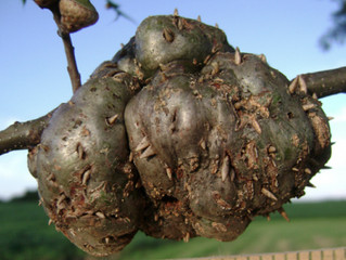 Dealing With Oak Gall