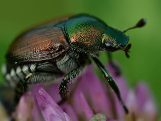 Attack of the Japanese Beetles!
