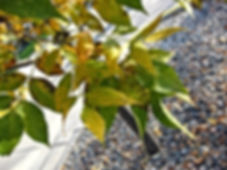 green ash.jpg