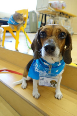 Bagel the Beagle