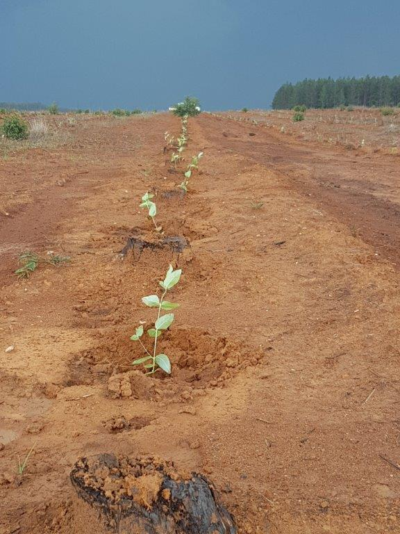 Seedlings planted using ANCO MP3000
