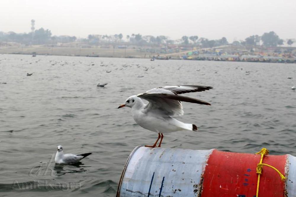 siberian bird india