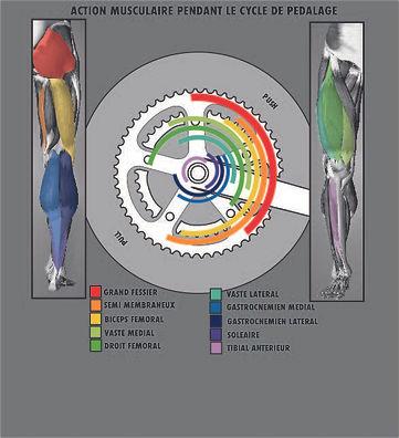 velo-muscles.jpg