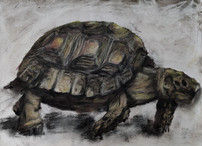 Tortoise drawing by Luna Smith