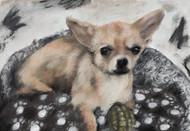 Biscuit - a cute chihuahua